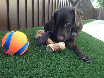dog on artificial turf